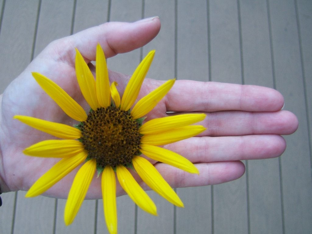 hand holding sunflower