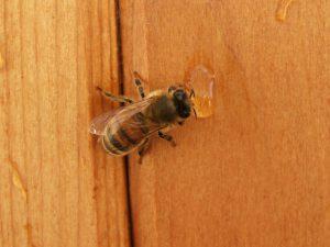 Bee drinking