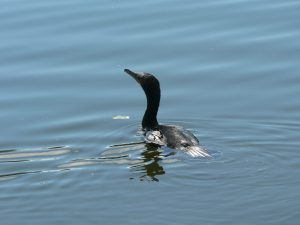Cormorant looking up by Laura K. Deal